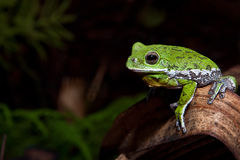 Skälla Treefrog (Hylagratiosaen) Royaltyfri Foto