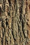 Skälldetalj av det gamla trädet Arkivbilder