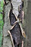 Skället av ett gammalt träd med mossa Arkivbild