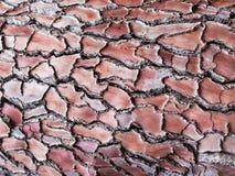 Skället av ett maritimt sörjer Pinuspinaster Naturlig wood texturmodell för bakgrund arkivbilder