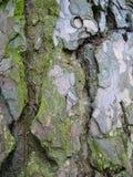 Skället av ett mycket gammalt sörjer trädet royaltyfri bild