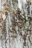 Skället av ett poppelträd Royaltyfri Foto