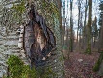 Skället av ett sönderrivet träd öppnar Fotografering för Bildbyråer