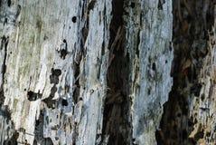 Skället av ett träd ätas av skalbaggar Arkivfoton