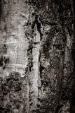 Skället av forntida tre sköt i skog i Tjeckien svart white Royaltyfria Foton