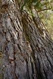 Skället av gammalt sörjer träd Arkivbilder