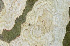 Skället av trädet är platan med härlig textur Royaltyfri Foto