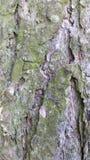 Skället från sörjer trädet Fotografering för Bildbyråer