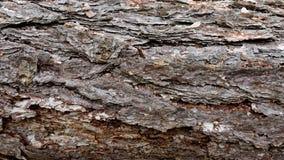 skället sörjer textur Trädet eller sörjer i skogbakgrunden av trädskället arkivbilder