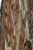 skälleukalyptusträd arkivfoton