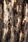 Skällmodell av det gamla trädet royaltyfri foto