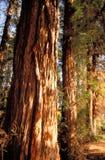 skällredwoodträd royaltyfri fotografi