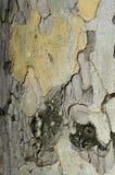 Skälltextur av det platan trädet för sykomor Arkivbild