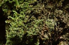 Skälltextur av ett gammalt björkträd som är bevuxet med laven med toner av naturlig bakgrund för färg arkivfoto