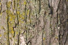 skälltexturtree Arkivfoto