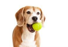 Skämtsam beaglehund med ståenden för tennisboll som isoleras på vit Royaltyfri Fotografi