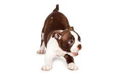 Skämtsam Boston Terrier valphund Royaltyfri Fotografi