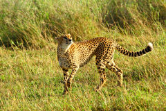 Skämtsam Cheetah Royaltyfria Foton