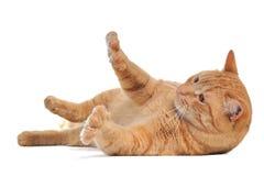 skämtsam katt Royaltyfri Foto