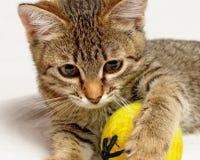 Skämtsam kattunge. Fotografering för Bildbyråer