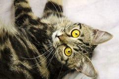 skämtsam kattunge En kattunge med en genomträngande blick fotografering för bildbyråer