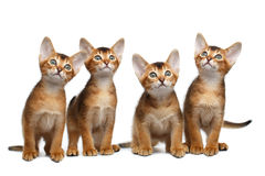 Skämtsam kattunge för Abyssinian fyra på isolerad vit bakgrund Royaltyfria Bilder
