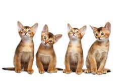 Skämtsam kattunge för Abyssinian fyra på isolerad vit bakgrund Royaltyfria Foton