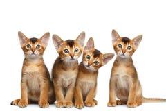 Skämtsam kattunge för Abyssinian fyra på isolerad vit bakgrund Arkivbild