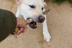 Skämtsam labrador retiever i detalj fotografering för bildbyråer