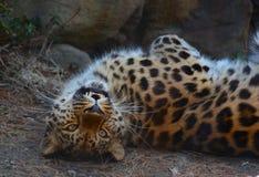 skämtsam leopard arkivbild