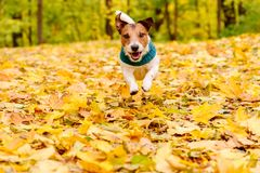 Skämtsam lycklig hund som bär varm ljuddämparespring på höstgräsmatta royaltyfria foton