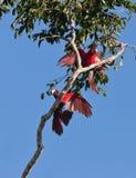 skämtsam red för gröna macaws Arkivbilder