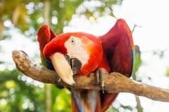 Skämtsam seende Scarlett Macaw fågelpapegoja i araberget, Copan Ruinas, Honduras, Central America arkivbild
