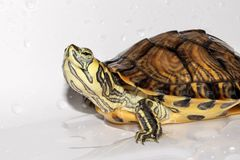 Skämtsam sköldpadda Royaltyfri Foto