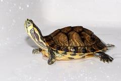 Skämtsam sköldpadda Arkivfoto