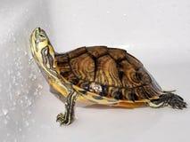 Skämtsam sköldpadda Royaltyfria Bilder