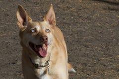 Skämtsam solbränd hund med ljus - blåa ögon och stor uprig Arkivbild