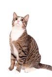 Skämtsam strimmig kattkatt på vit Arkivbild