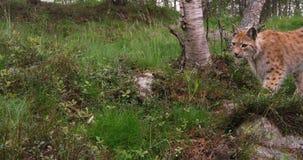 Skämtsam ung europeisk lodjur som kör i skogen en sommarafton arkivfilmer