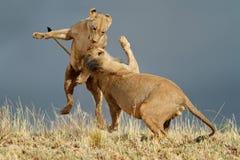 Skämtsamma afrikanska lejon arkivbild