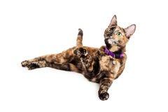 Skämtsamma Bengal Kitty Cat arkivfoton