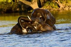 Skämtsamma elefanter i den Chobe floden Arkivbilder