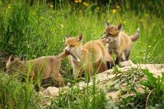 Skämtsamma gröngölingar för röd räv Royaltyfri Foto