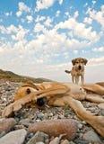 Skämtsamma hundar på stranden Royaltyfria Foton