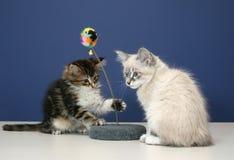 skämtsamma kattungar Royaltyfri Bild