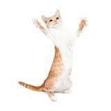 Skämtsamma Kitten Standing Paws Out Royaltyfri Bild