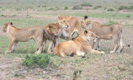 Skämtsamma Lions Arkivfoton