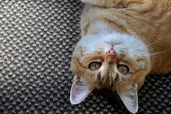 Skämtsamma orange Tabby Cat royaltyfria bilder