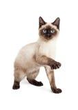 Skämtsamma Siamese Kitten Raising Paw Royaltyfri Foto