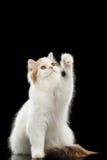 Skämtsamma skotska höglands- raka Cat Raising tafsar, isolerad svart bakgrund Arkivbild